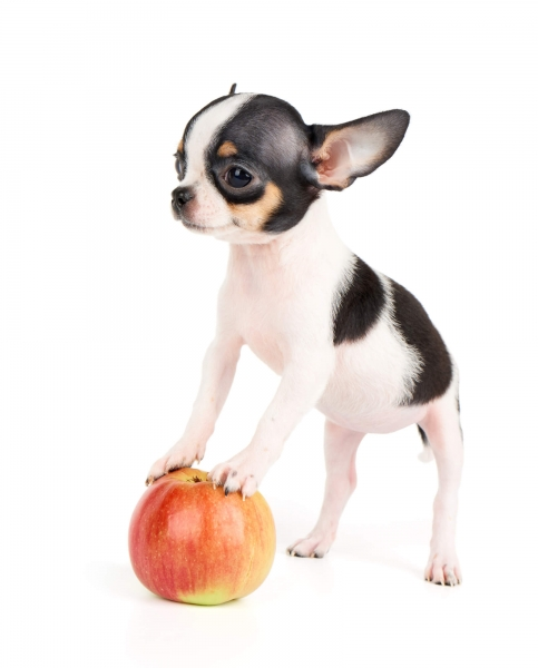chihuahua apple head