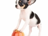 Black and white apple head Chihuahua... with an actual apple