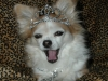 Long-coat Chihuahua wearing a tiara