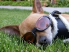 Chihuahua with 'Doggles' eyewear