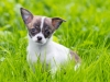 Cute Chihuahua puppy playing in the grass