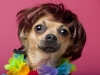 Close-up of Chihuahua wearing wig and colorful lei