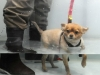 Mia the Chihuahua enjoying hydrotherapy (Google it)