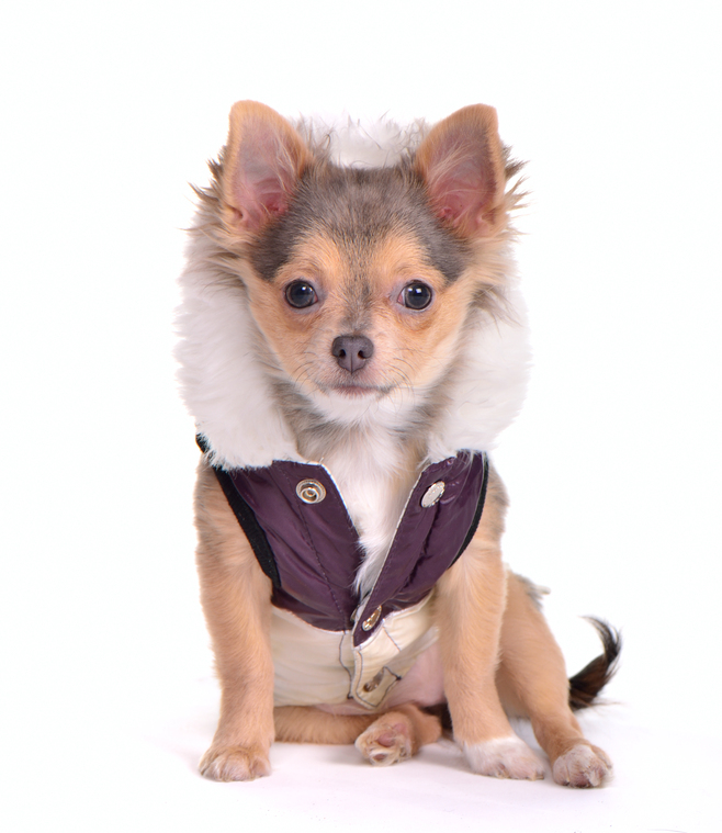 Chihuahua Wearing Fur-Lined Coat