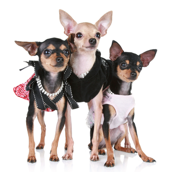Three Chihuahuas Wearing Clothes