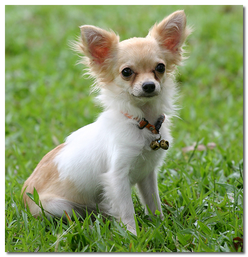 Smallest dog breed