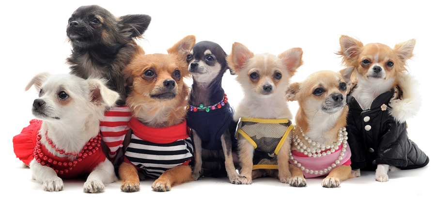 Chihuahuas Wearing Clothes