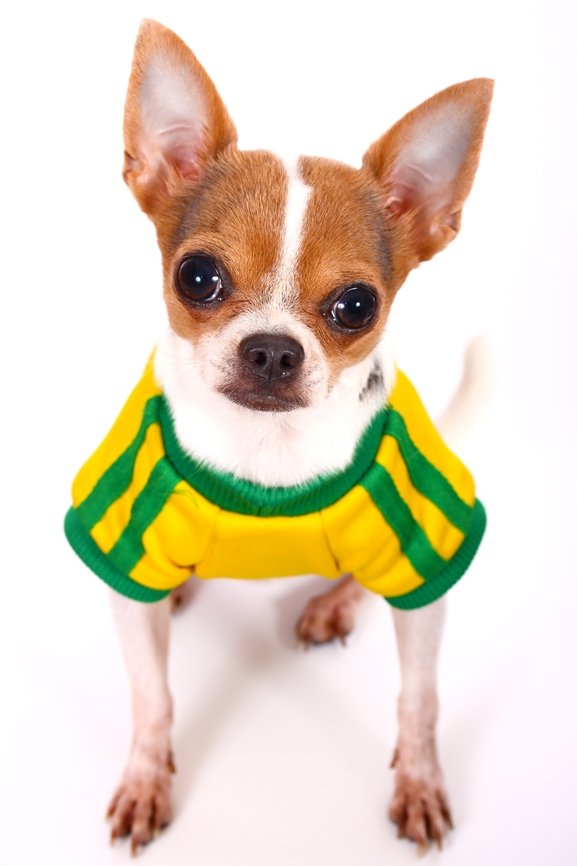 Chihuahua Wearing a Shirt