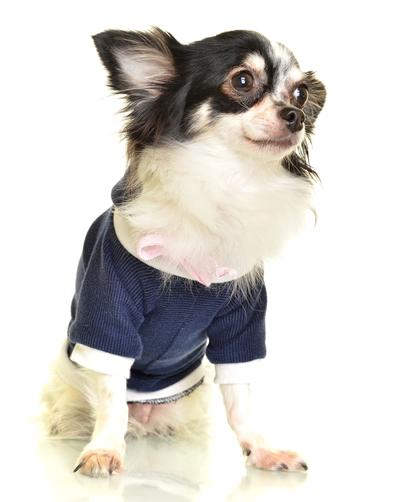 Blue Chihuahua Shirt