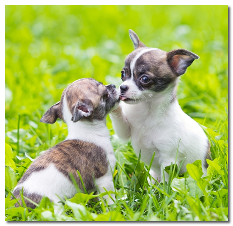 Two Housebroken Chihuahua Puppies