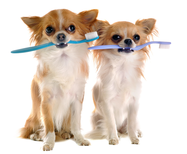 Chihuahuas With Toothbrush