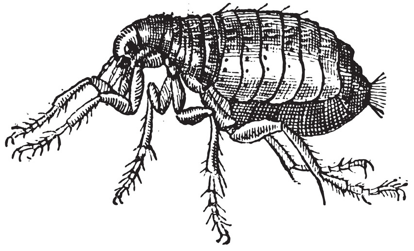 Flea Diagram