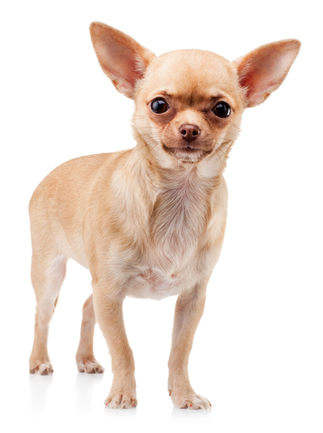 Apple Head Chihuahua