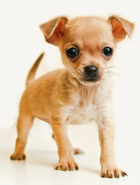 Brown Teacup Chihuahua
