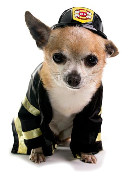 Chihuahua Wearing Fireman Costume