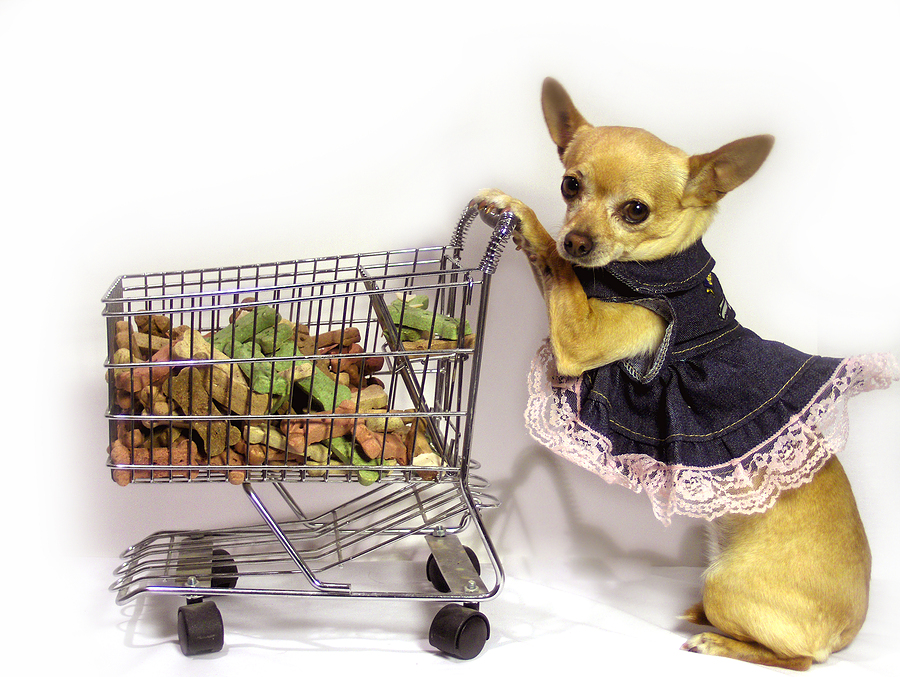 Chihuahua Wearing Dress