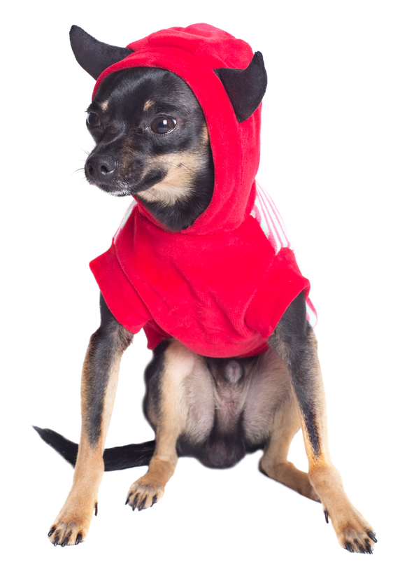 Chihuahua Wearing Halloween Devil Costume