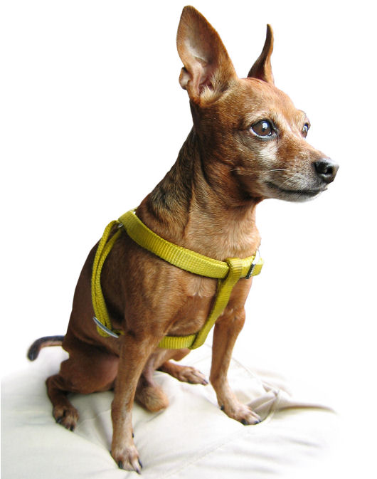 Chihuahua Wearing a Harness