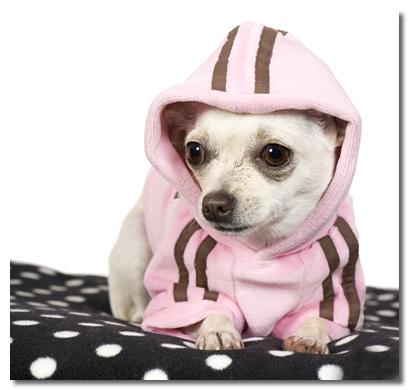 Chihuahua Wearing Pink Hoodie