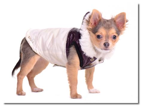 Chihuahua Jacket