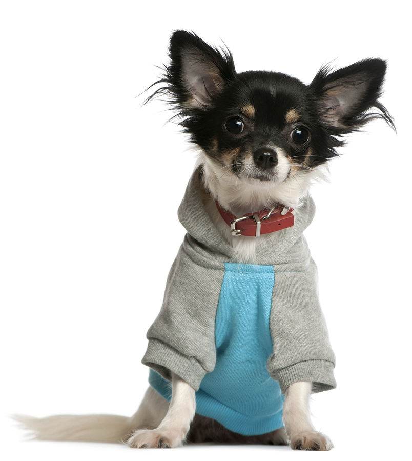 Simple Chihuahua Sweater