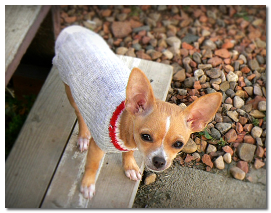 Chihuahua in Grey Sweater