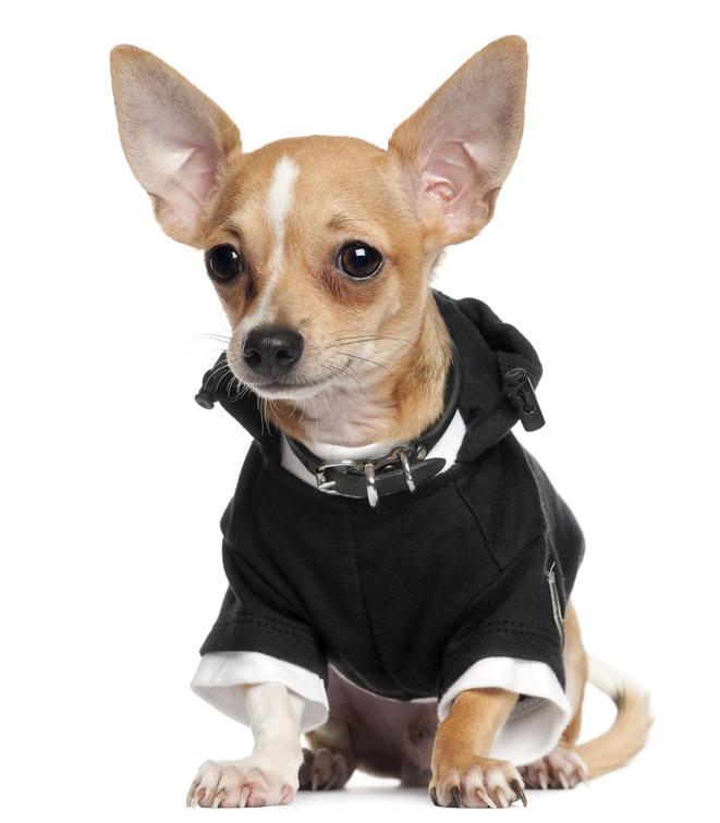 Chihuahua Wearing Black Hoodie