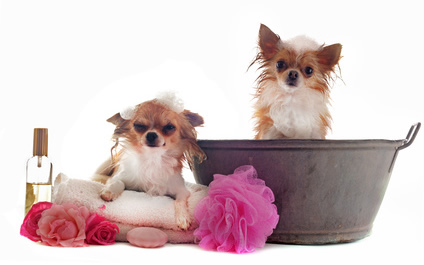 Two Chihuahuas at Bath Time