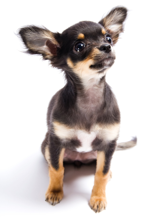 Smooth-Coat Chihuahua