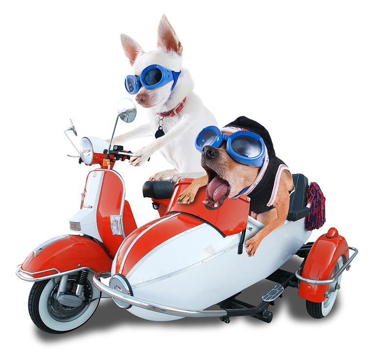 Chihuahuas on a Scooter