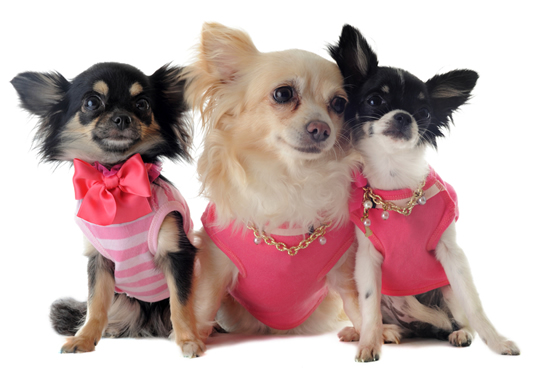 Three Small Chihuahuas