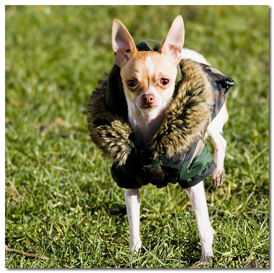 Chihuahua Eating Grass
