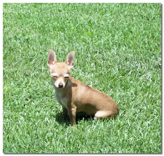 Chihuahua Grass Eating