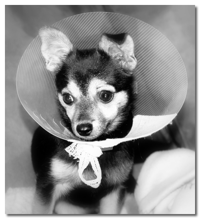 Chihuahua In Recovery