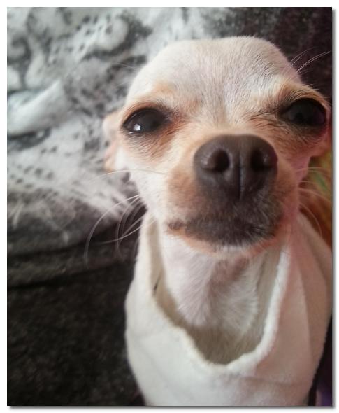 Introducing Chihuahua To Car Rides