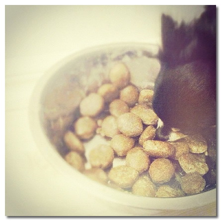 Chihuahua Food Allergies