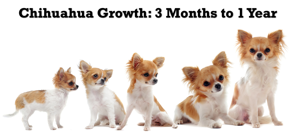 Chihuahua Growth 3 Months To 1 Year