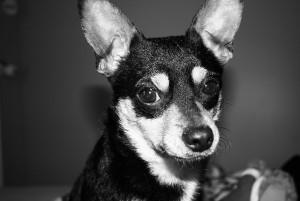 chihuahua-ear-infeciton