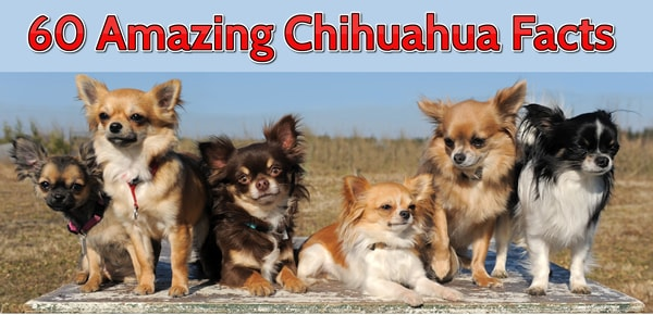 60 Amazing Facts About Chihuahuas