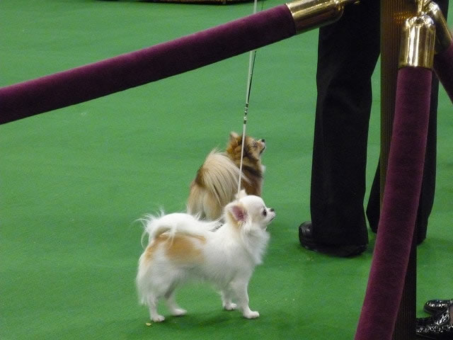 Best in Show Chihuahuas