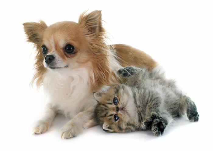 Chihuahua nursing kitten