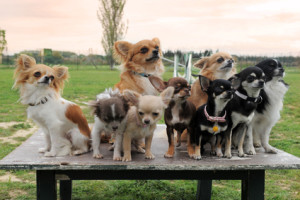 Wide Variety of Colored Chihuahuas