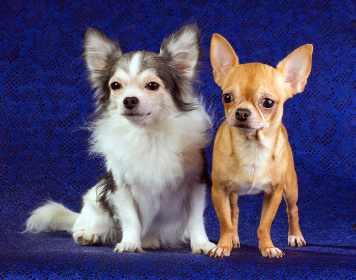 Long-coat and smooth-coat Chihuahua