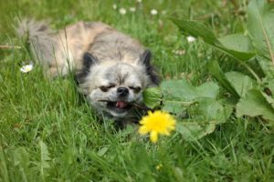 Stop your Chihuahua from eating grass