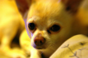 Chihuahua with tear stains