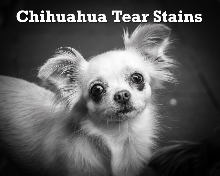 Chihuahua Tear Stains Causes Prevention And Treatment