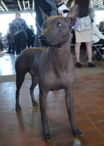 Giorgio Armani, the first Xoloitzcuintli to be named best of its breed at the Westminster Dog Show