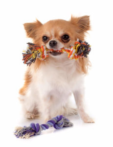 Teething Chihuahua with rope toy