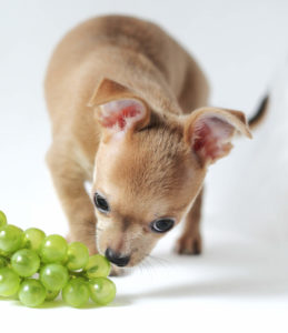 Chihuahua eating grapes