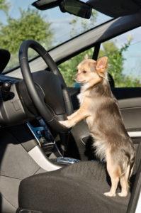 Chihuahua car ride